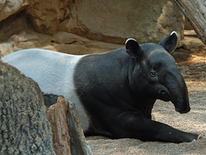 The contest's input image. It has a tapir.