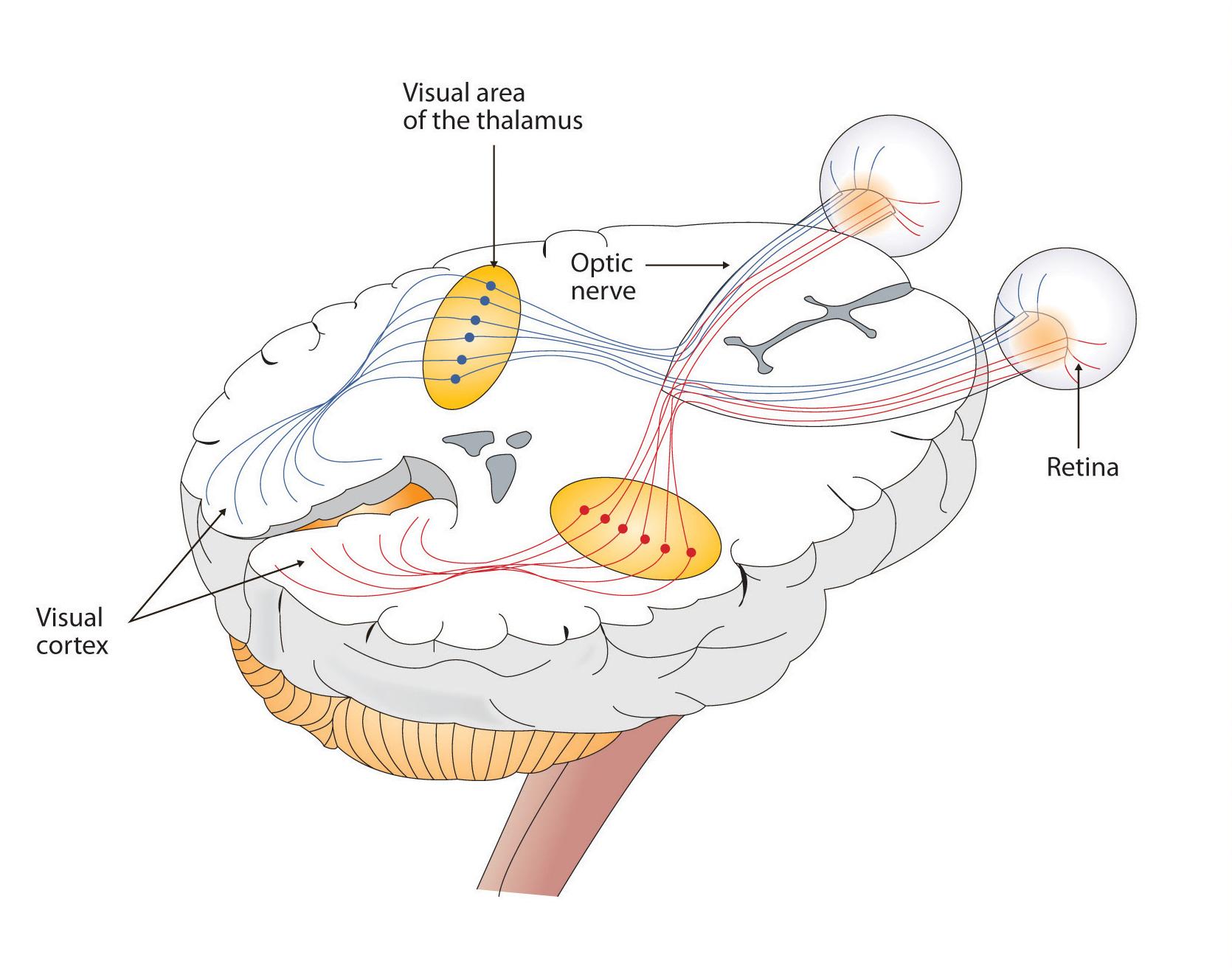 eye-brain.jpg