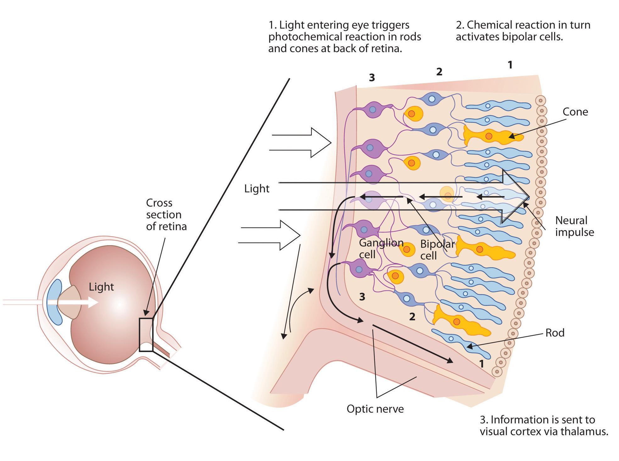 eye-cells.jpg